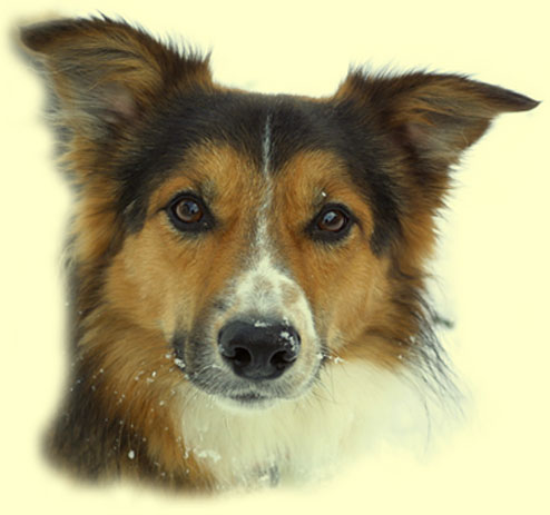 Border Collie of Beechgrove